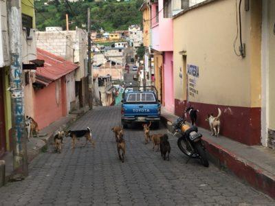 グアテマラの町中は野犬が多い