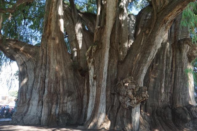 オアハカ観光 トゥーレの木